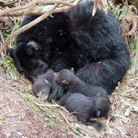 Hibernating American Black Bear