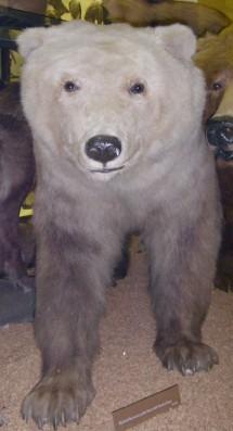 A Specimen of the polar-grizzly bear hybrid