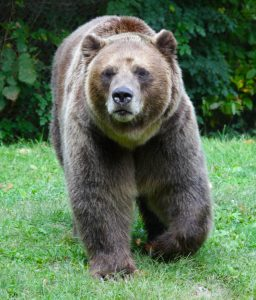 A Male Grizzly Bear