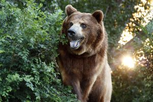 Large Grizzly Bear : Facts about bears