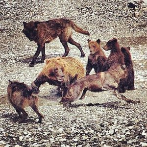 She-bear defending her cubs against a pack of wolves