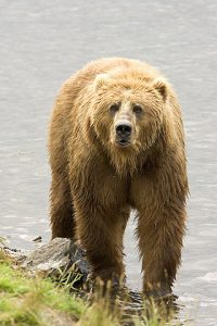The kodiak bear: brown bear subspecies