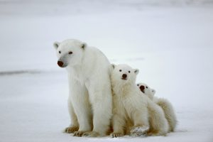 Polar Bear With Cubs: Bear attacks