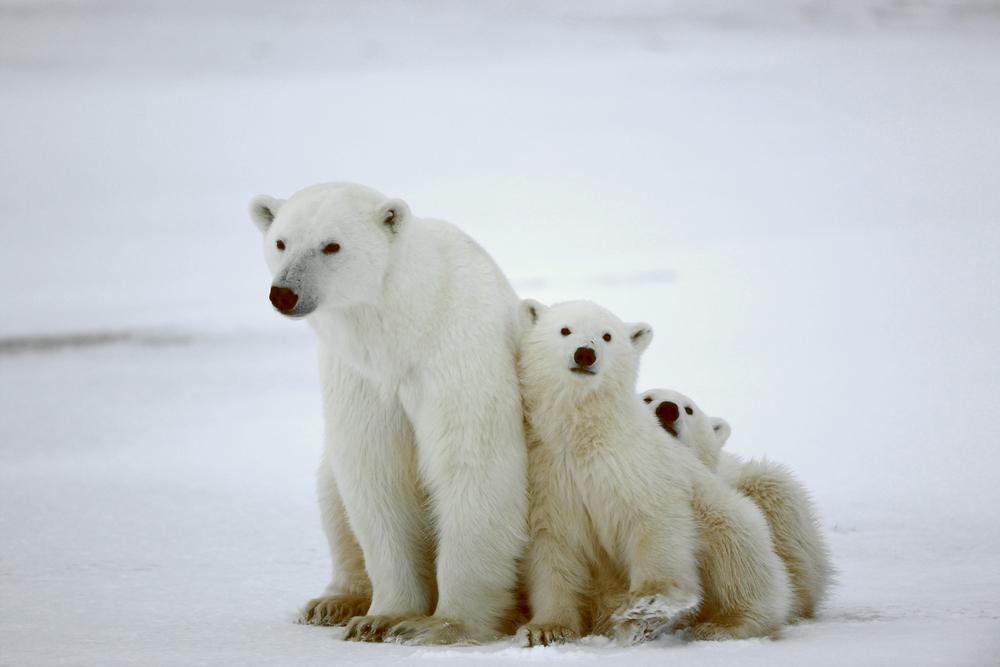 Polar Bear With Cubs: Bear attacks