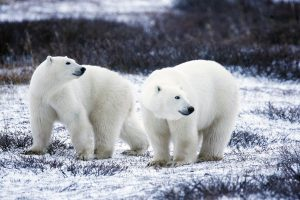 A couple of Polar bears