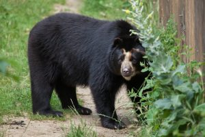 Spectacled Bear Or Andean Bear
