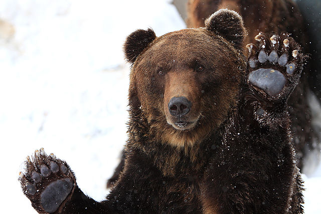 An Ussuri brown bear of Hokkaido