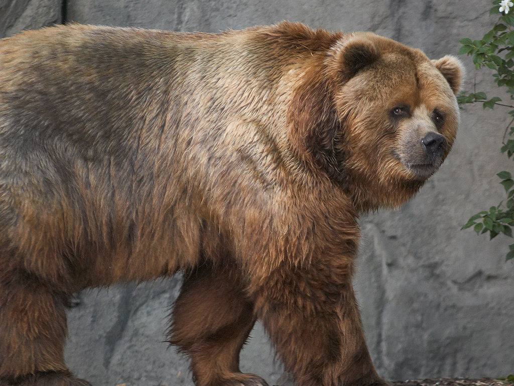 A Kodiak Bear In A German Zoo