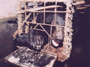 Asiatic Black Bear: Bile Bear Farming