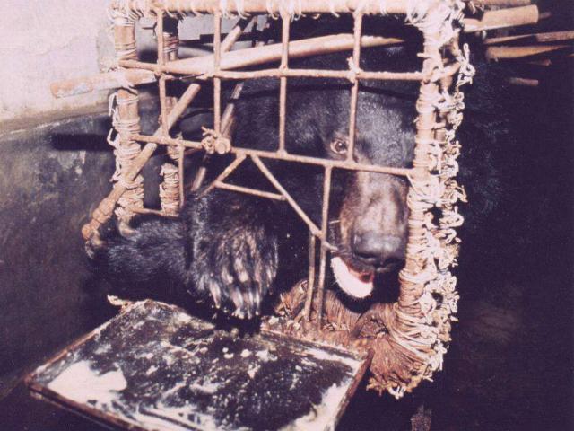 Asiatic Black Bear: Bile Bear Farming