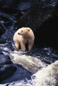A Kermode Bear With The Distinct Light Colored Fur.