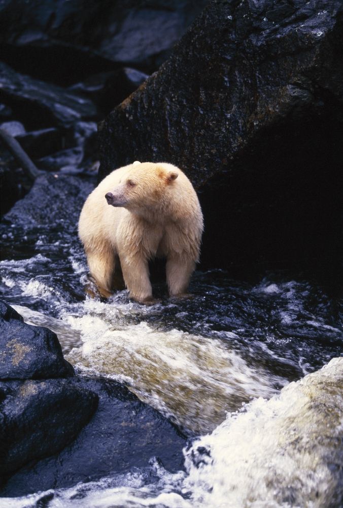 A Kermode Bear With The Distinct Light Colored Fur: See bears in the wild