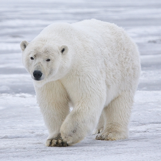 Polar Bear Sow In Alaska