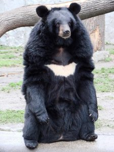 Asiatic black bear: China's Bear Bile Farming