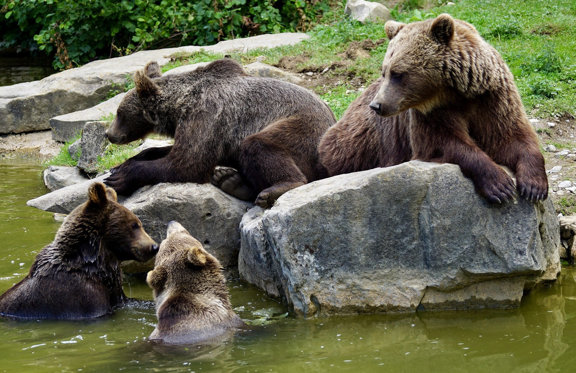 Brown Bears: see bears in the wild