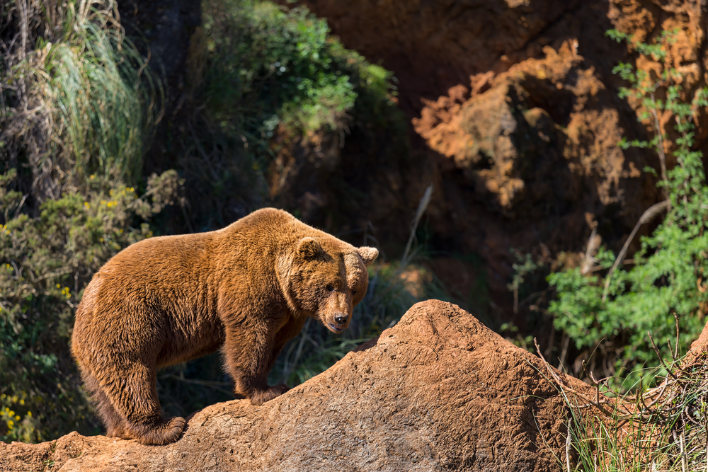 A Cantabrian Bear : See bears in the wild