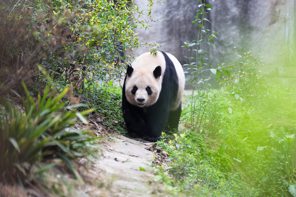 A Giant Panda In Chengdu, China