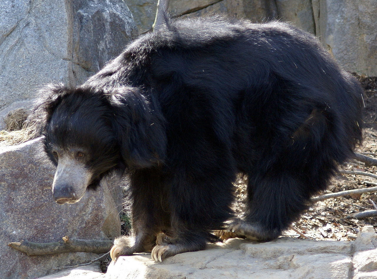 A Sloth Bear At A Zoo In Washington DC