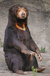 Female Sun Bear at a Zoo