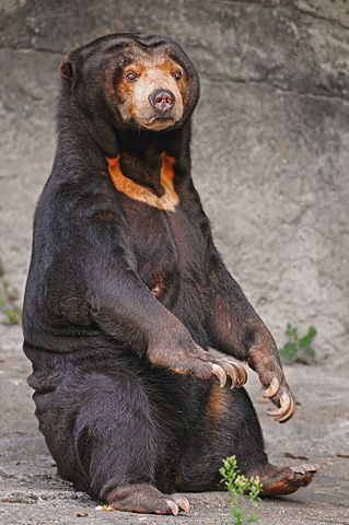 Female Sun Bear at a Zoo