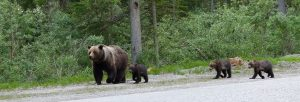 She-Bear With Cubs: Canada Bear Trophy Hunting Ends