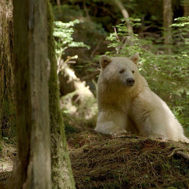 Spirit Bear In The Great Bear Forest, BC.