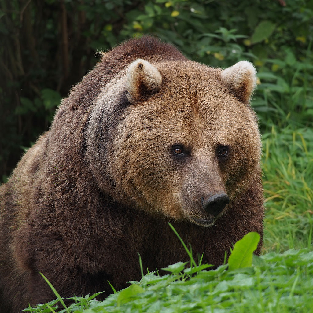 Eurasian Brown Bear at the Whipsnade Zoo