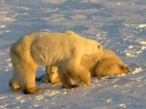 A Couple Of Polar Bears In Churchill