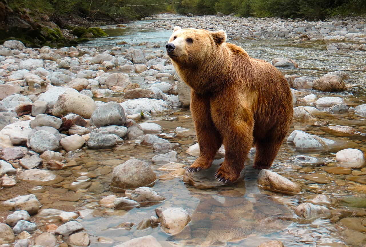 A Bear Sitting In A Stream: Food conditioned bears