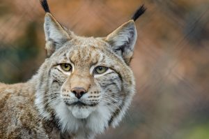 Lynxes and wolves are part of the British bears reintroduction plan