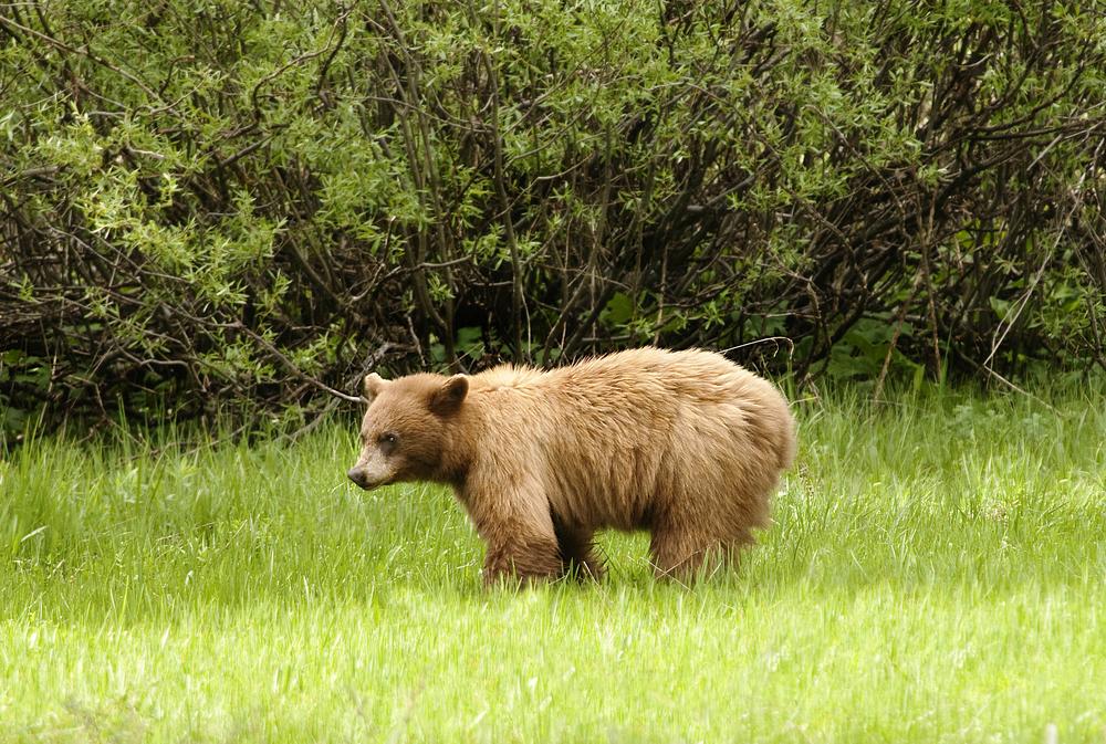 American Black bear in Yosemite National Park: Yosemite Bears