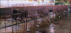A Row Of Caged Bear At A Bile Farm: Asian Market For Bear Parts