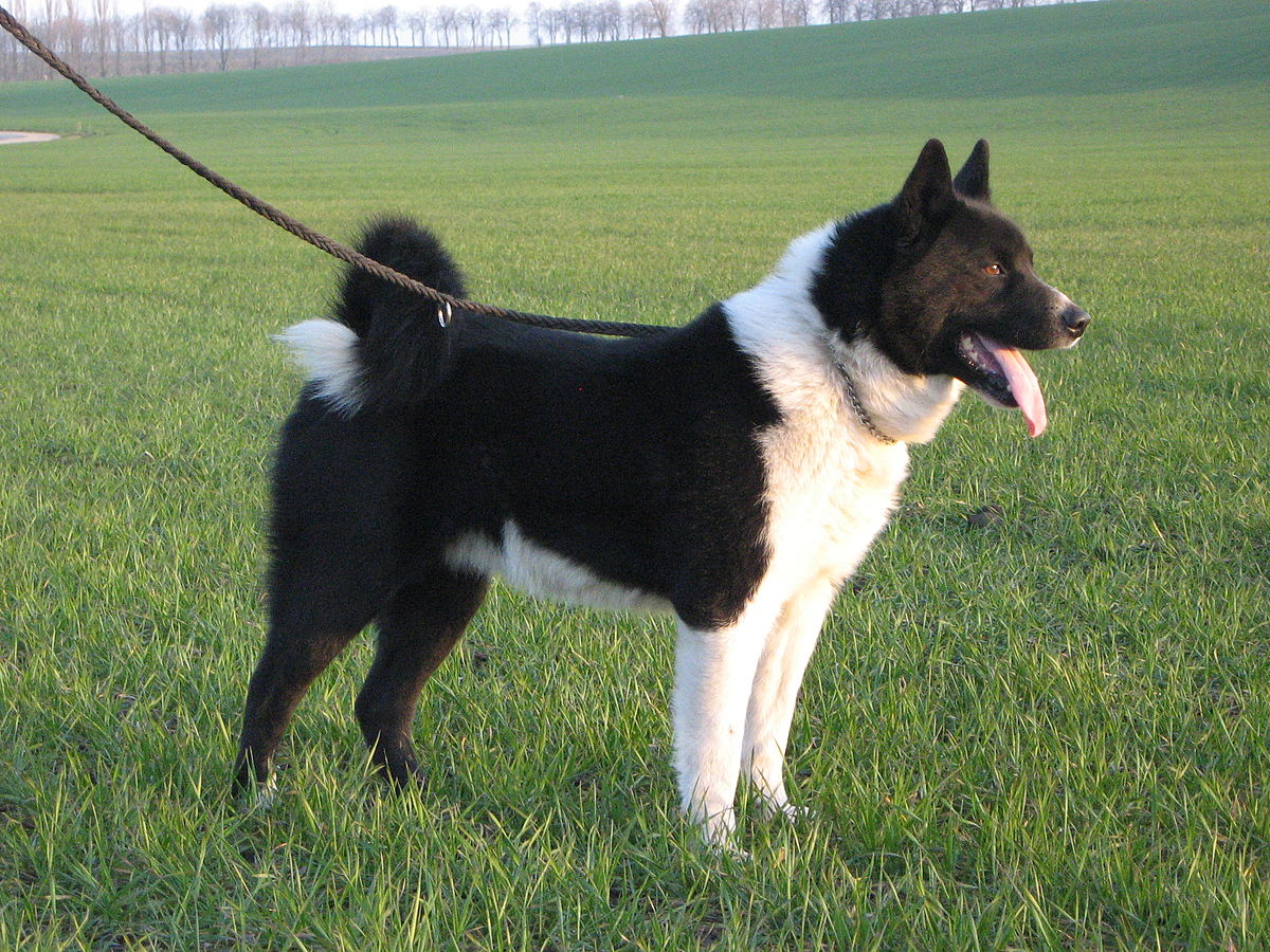 Karelian Bear Dog: Non-lethal bear management