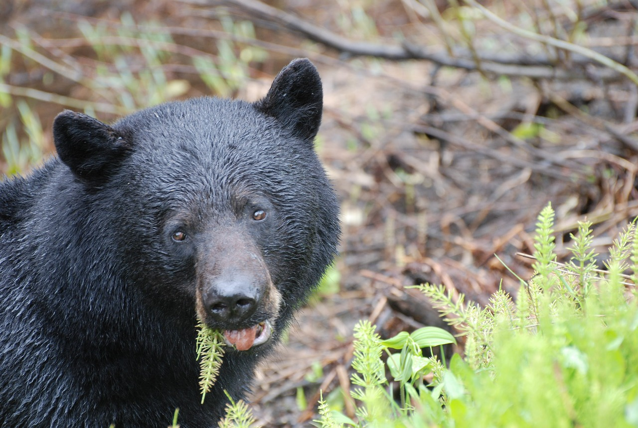 Post Hibernation Black Bears Suffer To Find Food Naturally: Bear Feeding