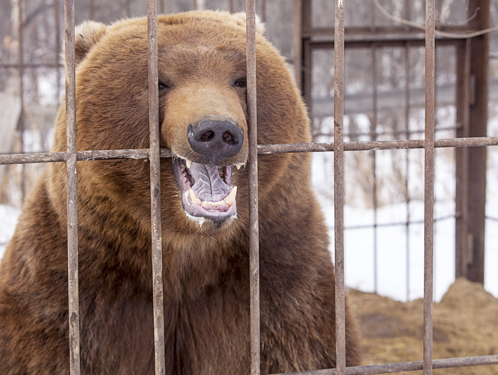 Brown Bear Behind Steel Bars: Bear Sanctuaries