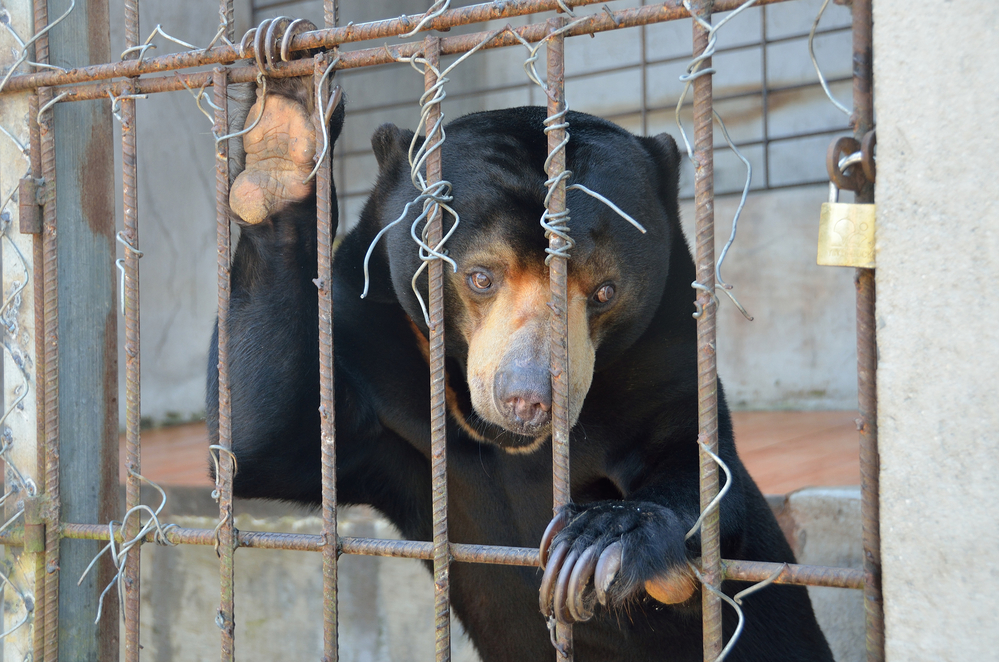 Four Paws Campaign: Bear Bile Farming In Vietnam