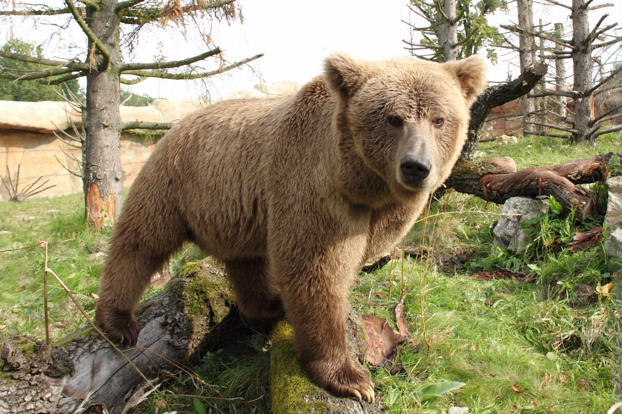 Adult Himalayan Brown Bear At Zoo Hluboka