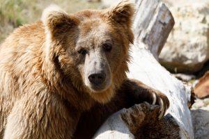 Closeup Of A Himalayan Brown Bear