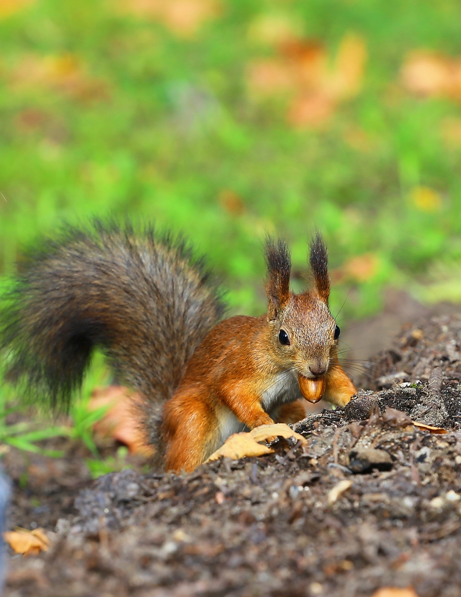 Red Squirrel With A Nut: Bear-Train Collisions