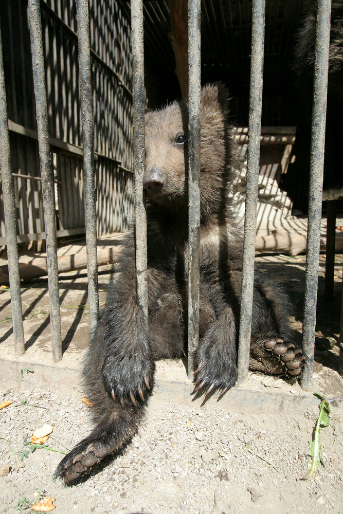A cub in a cage: bear dancing