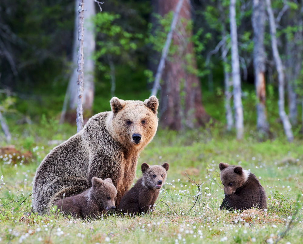 A brown bear protects her cubs; Romanian bear